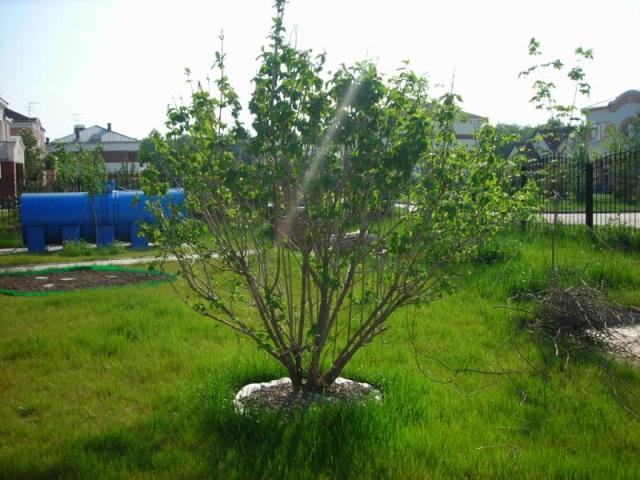 правила посадки деревьев на участке